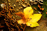 Autumn leaf, Mugdock Park